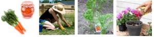 cons radici estir erb pian carote conc fiori